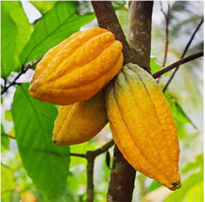 cacao tree chocolate source